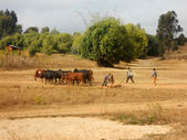 Africa - Grazing animals - Some small African children lead thei — Stock Photo