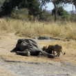 Two lionesses feast on the carcass of an elephant - Tanzania - A — Stock Photo