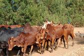 動物の移動放牧 - 村 pomerini - タンザニア - アフリカ 2013 — ストック写真
