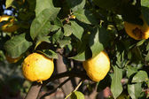 A plant of organic lemons — Stockfoto