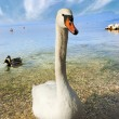 Mute Swan - Garda Lake - Italy — Stock Photo #14132342