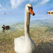 Mute Swan - Garda Lake - Italy — Stock Photo