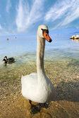 Mute Swan - Garda Lake - Italy — Stock Photo