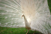 Vanity - Beautiful White Peacock — Stock Photo