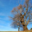 Stock Photo: Solitary Chestnut