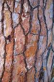 Maritime Pine Bark — Stock Photo
