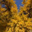 Ginkgo Tree in Autumn — Stock Photo