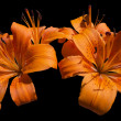 Orange Lily Flowers - Lilium — Foto de Stock