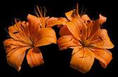 橙色百合花-百合 — 图库照片