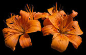 Orange lily blommor - lilium — Stockfoto