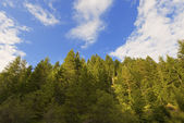 Firs and Pines from bottom view — Stock Photo