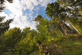 Beech and Pines from bottom view — Stok fotoğraf