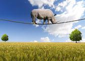 Rhino walking am seil — Stockfoto