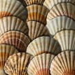 Scallop Shells Background — Stock Photo