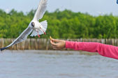 The white seagull flying in the sky taking food from hand — Photo