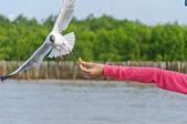 Il gabbiano bianco volare nel cielo prendendo il cibo dalla mano — Foto Stock