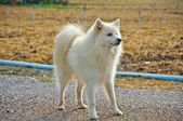 White dog standing in the cultivation farm — Стоковое фото