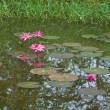 Pink lotus or water lily in pond — Stok Fotoğraf #16309199