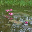 图库照片: Pink lotus or water lily in pond