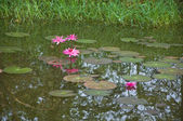 Pink lotus or water lily in the pond — Stock Photo