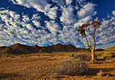 Richtersveld Quiver Tree — Stock Photo