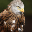 Red Kite — Stock Photo