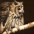 Mexican Striped Owl — Stock Photo