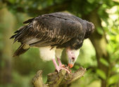 White Headed Vulture — Stock Photo