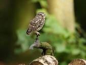 Little Owl — Stock Photo