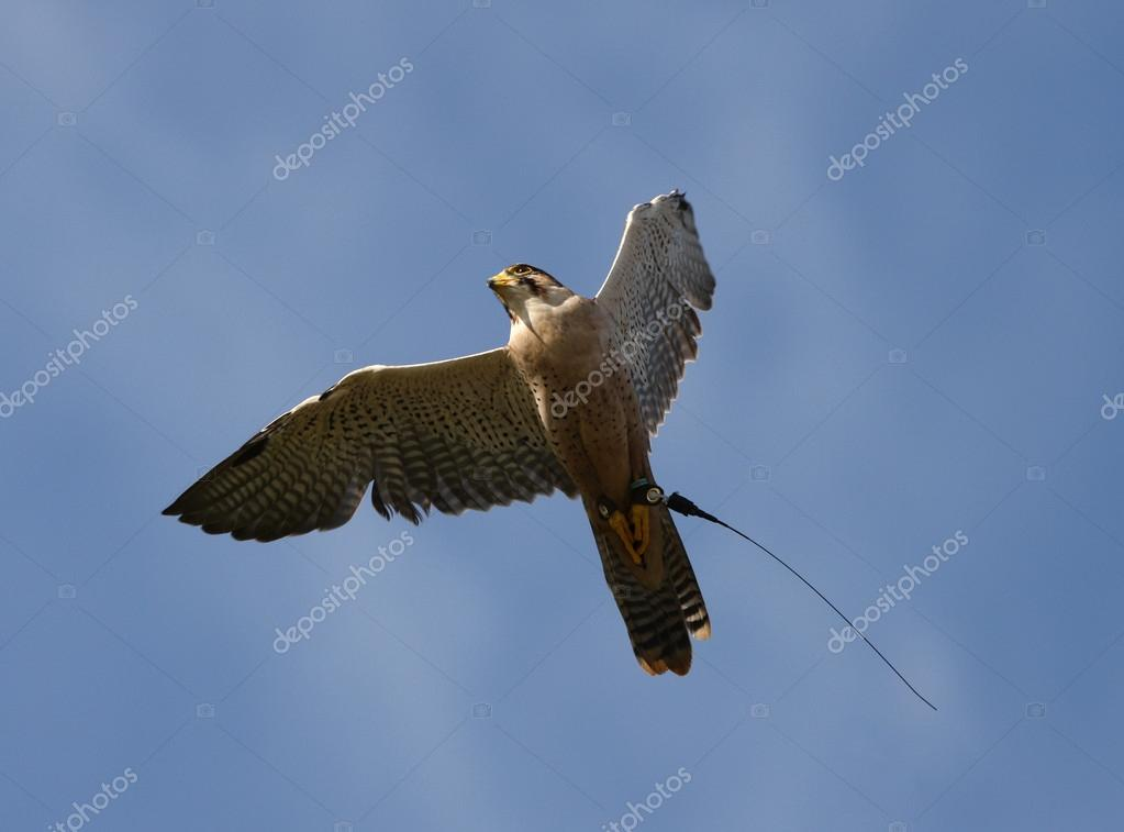 Peregrine Falcon Wingspan Close up of a Peregrine Falcon