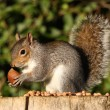 Stockfoto: Grey Squirrel
