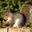 Grey Squirrel — Stockfoto #18087735
