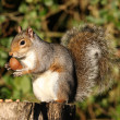 Grey Squirrel — 图库照片