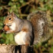 Grey Squirrel — Stock Photo #18087795