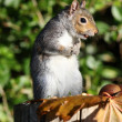 Grey Squirrel — Stockfoto #18087841