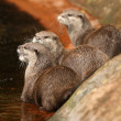 Stock Photo: Oriental Short-Clawed Otters
