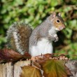 Grey Squirrel — Stockfoto #18087935