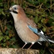 Jay garrulus glandarius — Stock Photo