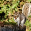 Grey Squirrel — Stock Photo #18088681