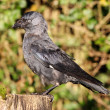 Jackdaw — Stock Photo #18088725