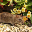 Brown Rat — Stock Photo