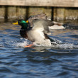 mallard duck — Stock Photo #20398073