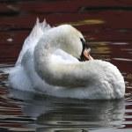 Mute Swan — Stock Photo #23540371