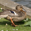 Female Mallard Duck — Stock Photo #25929321
