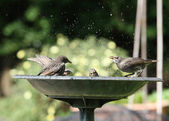 Young Starlings — Stock Photo