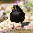 Stock Photo: Blackbird drinking