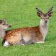 Stock Photo: Male and female Fallow Deer