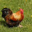 Stock Photo: Bantam Chicken