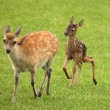 Baby Fallow Deer — Stock Photo