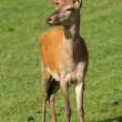 Stock Photo: Young male Red Deer